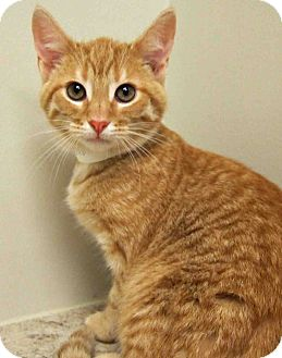 Domestic Shorthair Kitten for adoption in Hinsdale, Illinois - ADOPTED!!!   Peter