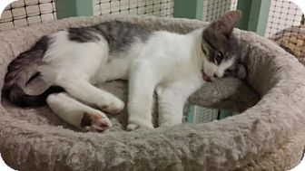 Domestic Shorthair Kitten for adoption in Collinsville, Oklahoma - Ace