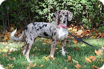 Australian Shepherd Mix Dog for adoption in West Milford, New Jersey - MEEKA-pending
