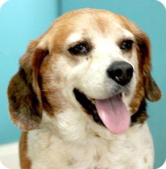Beagle Dog for adoption in Hardinsburg, Kentucky - EMMY LOU