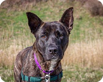 Australian Kelpie Mix Dog for adoption in Bellingham, Washington - Kelsey