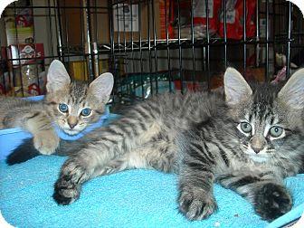 Maine Coon Kitten for adoption in Arlington, Virginia - Pepper & Percy (Kitten Cuties!