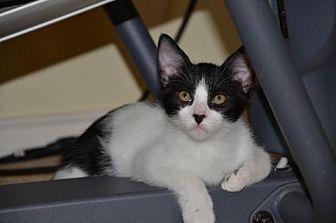 Domestic Shorthair Cat for adoption in Houston, Texas - Hamlet
