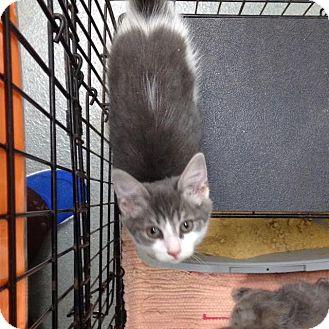 Domestic Shorthair Kitten for adoption in Westminster, California - Stella