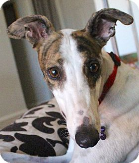 Greyhound Dog for adoption in Tucson, Arizona - Lacey