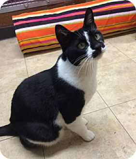 Domestic Shorthair Cat for adoption in Milton, Massachusetts - Sebastian