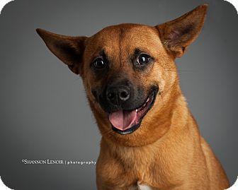 German Shepherd Dog/Labrador Retriever Mix Dog for adoption in Eden Prairie, Minnesota - Morris