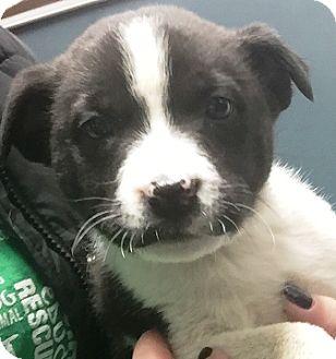"""Boston Terrier/Pomeranian Mix Puppy for adoption in Oswego, Illinois - Fun & Games """"Domino"""""""