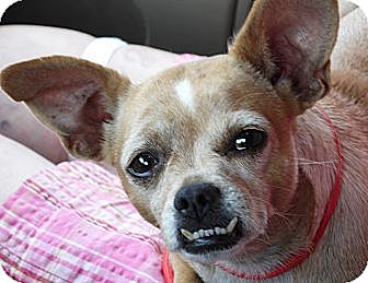 Chihuahua/Pug Mix Dog for adoption in Burlington, Vermont - Blubell (8 lb) New Pics!