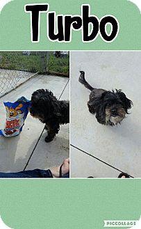Shih Tzu/Poodle (Miniature) Mix Dog for adoption in Bryan, Ohio - Turbo 2