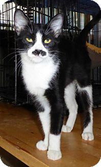 Domestic Shorthair Cat for adoption in Mission Viejo, California - Frieda
