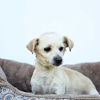 Dachshund/Terrier (Unknown Type, Small) Mix Dog for adoption in Auburn, California - Ernie