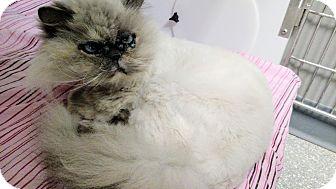 Persian Cat for adoption in Chaska, Minnesota - Kiki