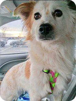 Spitz (Unknown Type, Medium) Mix Dog for adoption in Smithtown, New York - Earth