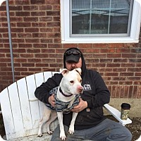 American Staffordshire Terrier Mix Dog for adoption in Whitestone, New York - Benni