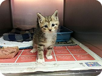 Domestic Shorthair Kitten for adoption in Colonial Heights, Virginia - Madden