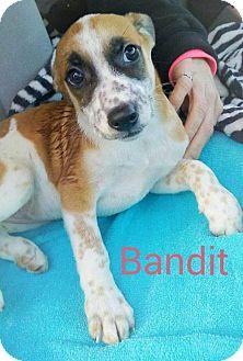 Cattle Dog/Beagle Mix Puppy for adoption in St Louis, Missouri - Bandit