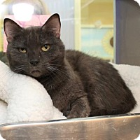 Domestic Shorthair Cat for adoption in Richmond, Virginia - Mamie