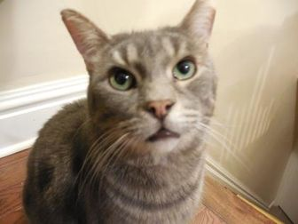 Domestic Shorthair/Domestic Shorthair Mix Cat for adoption in Toronto, Ontario - Bill Murray