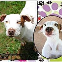 Pointer Mix Dog for adoption in Grovetown, Georgia - A080752