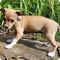 Adopt A Pet :: Sophie - Southbury, CT