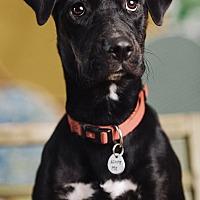 Adopt A Pet :: Nova - Portland, OR