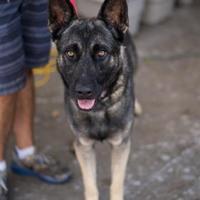 Adopt A Pet :: Armageddon - Fresno CA, CA