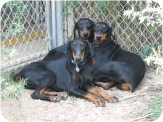 Doberman Pinscher Puppy for adoption in New Richmond, Ohio - robbin