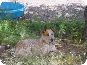Blue Heeler/Blue Heeler Mix Dog for adoption in Pie Town, New Mexico - BRIDGET