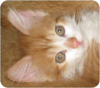 Domestic Longhair Kitten for adoption in Sykesville, Maryland - Ferocious Poof