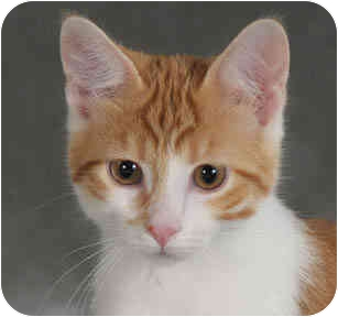 Domestic Shorthair Kitten for adoption in Chicago, Illinois - Noodle