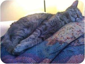 Domestic Shorthair Cat for adoption in Little Rock, Arkansas - Terrie