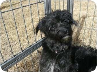 Chihuahua Mix Puppy for adoption in Mesa, Arizona - Taz