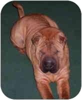 Shar Pei/Shar Pei Mix Dog for adoption in Genoa, Ohio - Kennedy