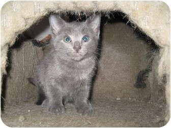 Russian Blue Kitten for adoption in Trevose, Pennsylvania - Video
