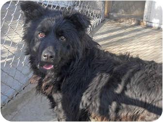 Border Collie/Shepherd (Unknown Type) Mix Dog for adoption in Wichita, Kansas - Ebony