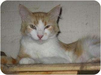 Domestic Mediumhair Cat for adoption in Phoenix, Arizona - Lovey