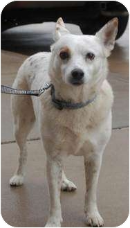 Australian Cattle Dog Mix Dog for adoption in White Settlement, Texas - Sugar-fosters aunt adopting