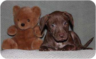 Labrador Retriever/American Pit Bull Terrier Mix Puppy for adoption in Salem, New Hampshire - Chest of Drawers