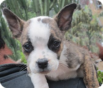 Boston Terrier Mix Puppy for adoption in Poway, California - Little Boo
