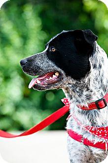 German Shorthaired Pointer Mix Dog for adoption in Houston, Texas - Duke