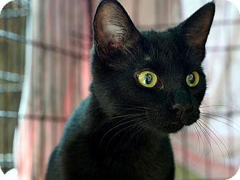 American Shorthair Cat for adoption in Brooklyn, New York - Ashley Lou