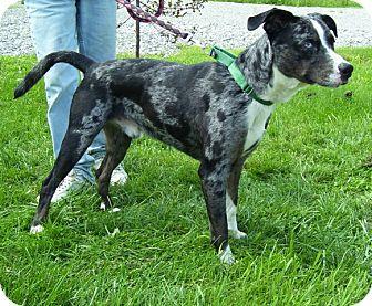 Australian Shepherd Mix Dog for adoption in Somerset, Pennsylvania - Checkers