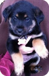 Shepherd (Unknown Type)/Rottweiler Mix Puppy for adoption in Encino, California - Selene