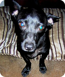 Dachshund/Chihuahua Mix Dog for adoption in Hollywood, Florida - Pepper