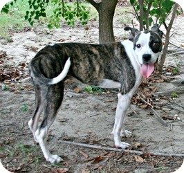 Boxer Mix Dog for adoption in Lufkin, Texas - Roxie