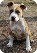 Terrier (Unknown Type, Medium) Mix Puppy for adoption in Tinton Falls, New Jersey - Thumper