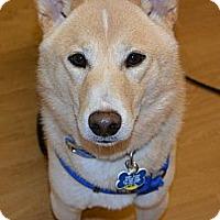 Adopt A Pet :: Genji - Centennial, CO
