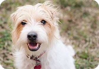 Jack Russell Terrier Mix Dog for adoption in San Antonio, Texas - Skipper in Austin