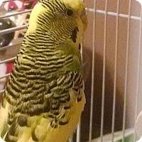 Adopt A Pet :: Bailey - Lenexa, KS